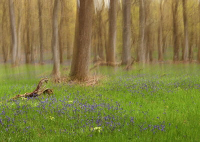 a shot of a bluebell wood with the trees blurred by moving the camera during exposure